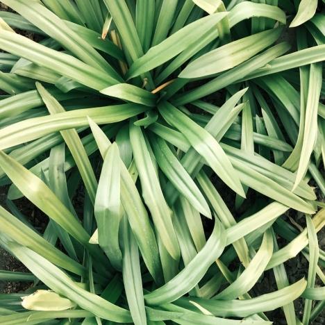 Lemongrass Fragrance Oil