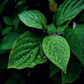 Wild Mint Fragrance Oil